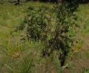 Blackberry bush 1