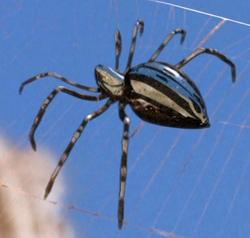 Silver spider