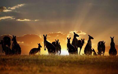Kangaroo horde