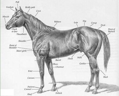 Horse-with-parts-description