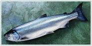 Whole-coho-salmon