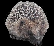 Poor hedgehog