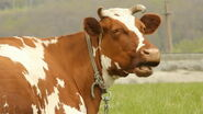 Stock-footage-brown-cow-with-white-spots-on-a-summer-pasture