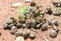 56084280-fresh-horse-manure-on-grass-dried-horse-poo-texture-elephant-poo