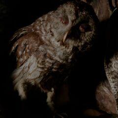 Petrus' owl