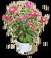 C610 Magic of flowers i02 Aster