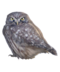 C227 Carrier birds i04 Pygmy owl