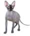 C172 Purebred cats i04 Sphynx cat