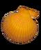 C293 Seashells i02 Pecten australis