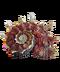 C293 Seashells i06 Angaria poppei