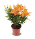 C610 Magic of flowers i05 Lily