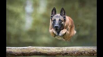 Malinois - Belgian sheperd - Master of the jump - Le maitre du saut