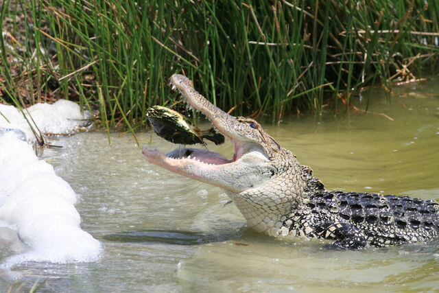 File:Gator4.jpg