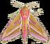 C618 World of butterflies i04 Elephant hawk-moth