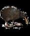 C019 Birds Paradise i05 Kiwi