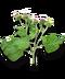 C228 Herbalists advice i03 Burdock root