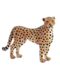 C141 Wild cats i03 Cheetah