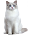 C172 Purebred cats i02 Ragdoll cat