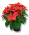 C191 Symbols of the holidays i01 Poinsettia