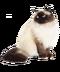 C172 Purebred cats i05 Himalayan cat