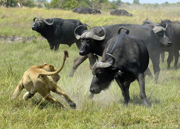 File:Buffalo-vs-Lion.jpg