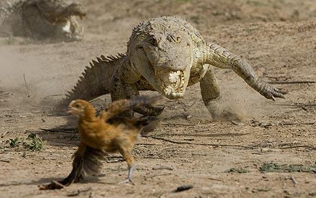File:Croc-chasing-chick 1113592c.jpg
