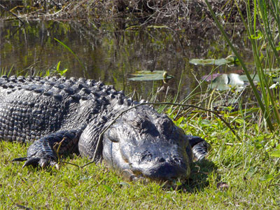 File:Everglades-alligator.jpg