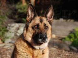 German-shepherd-puppy-hd-wallpapers-beautiful-desktop-background-photographs-widescreen