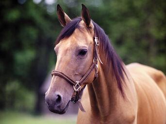 Maiden the Horse