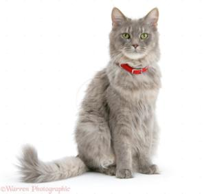 File:300px-26805-Maine-Coon-wearing-a-red-collar-white-background.jpg