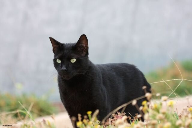 File:Backyard black cat-other.jpg