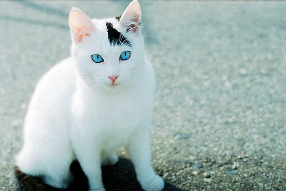 File:Blue-eyes-cat-cute-white-cat-kitten.jpg