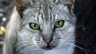 Grey-cat-green-eyes