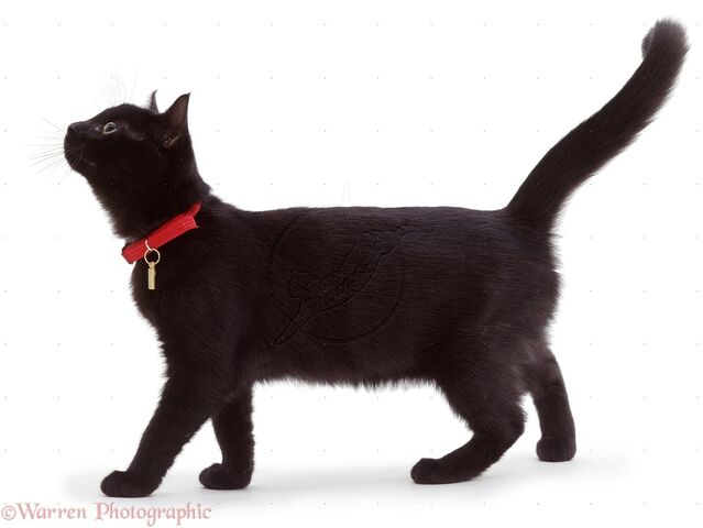 File:01282-Black-cat-with-red-collar-white-background.jpg