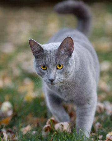 File:Cat-outside-roaming.jpg