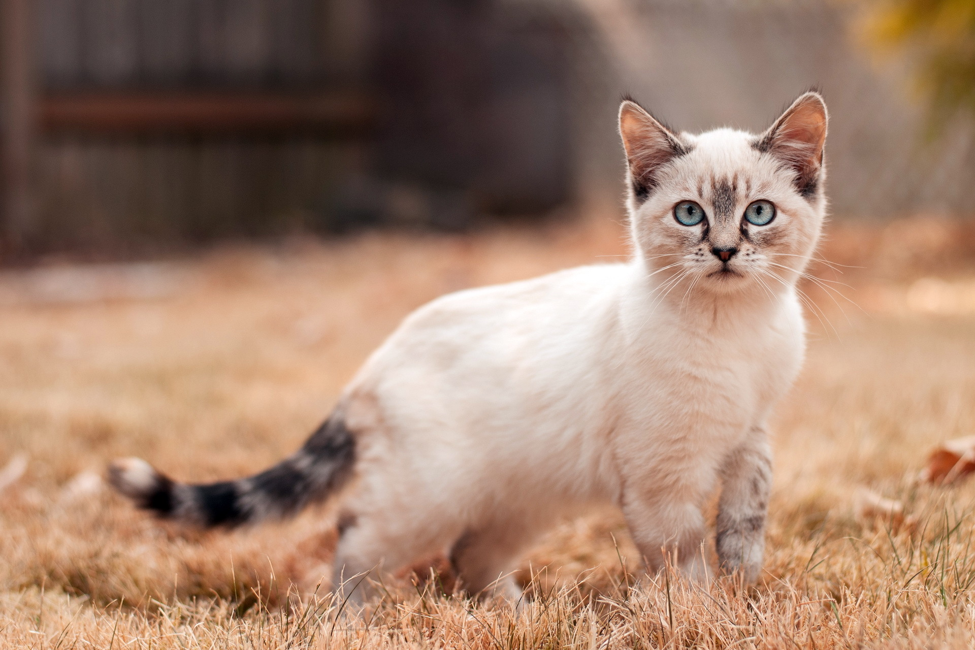 Image Cute Siamese Cat Outside Roaming Animal Picture HD