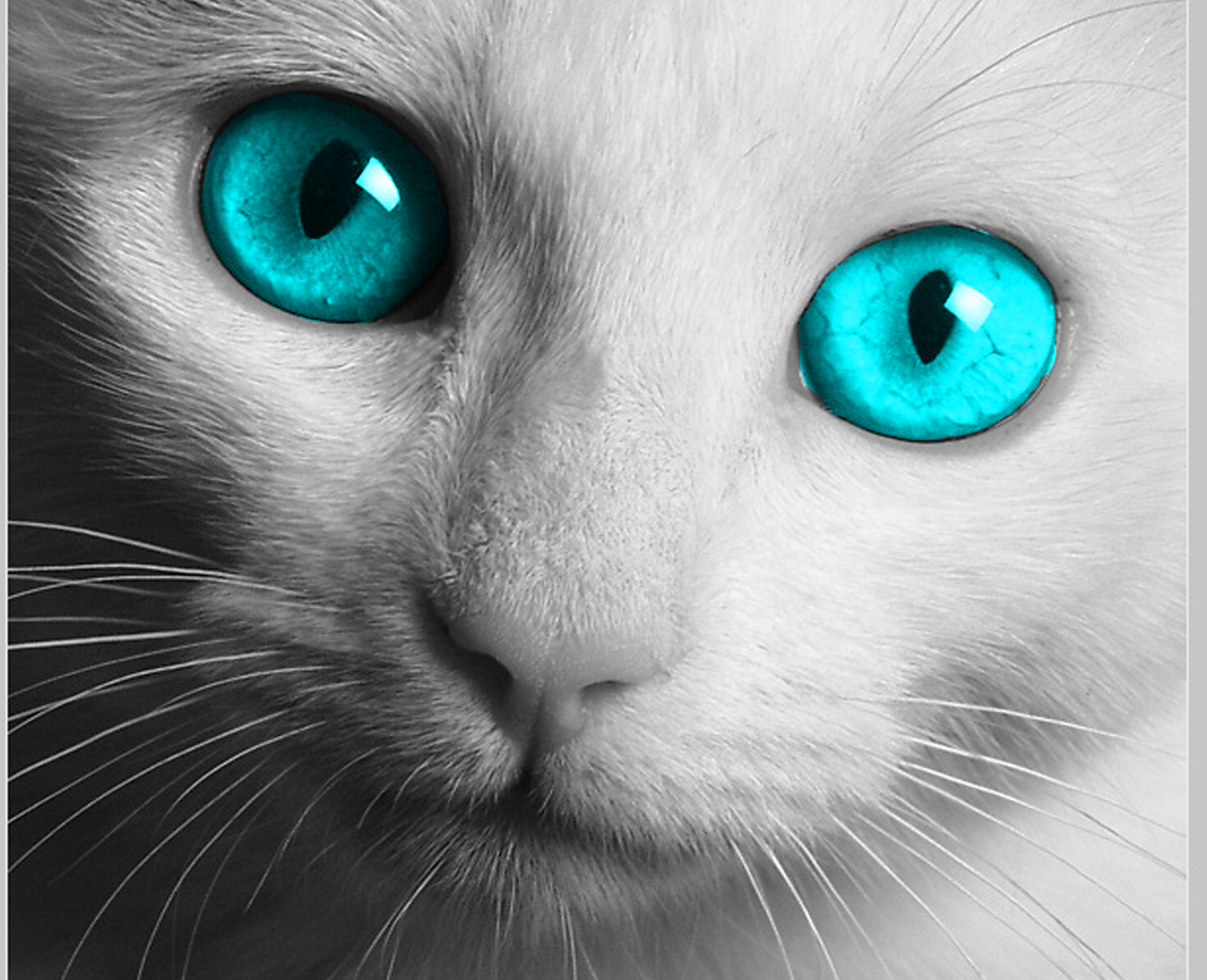 White Cat Blue HD Wallpapers