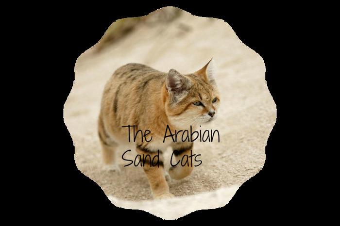 Sand cat1