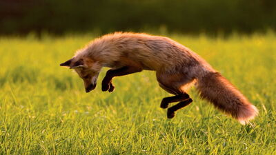Jumping-fox-HD