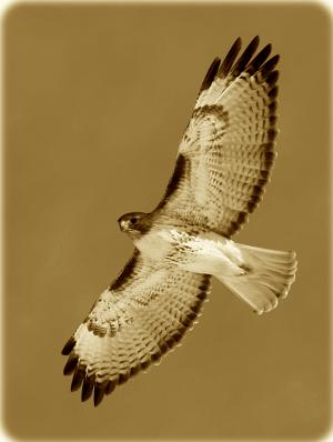 Hawkbanner