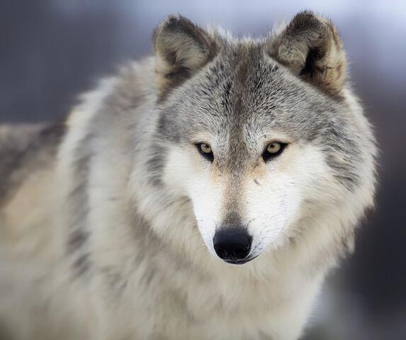 File:Wolf-Spirit-Animal-2.jpg