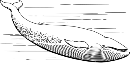 Papapishu-Blue-whale-800px