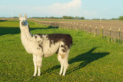Llama from the Side