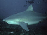 Tiburón lamia
