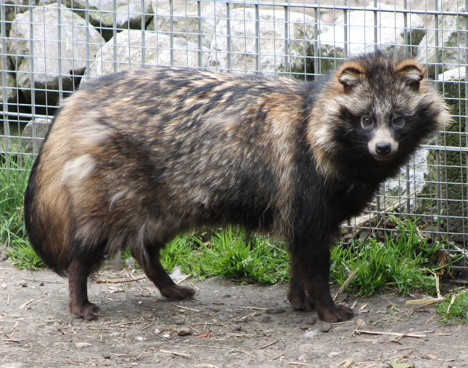 Raccoon Dog | Poochpedia | FANDOM powered by Wikia