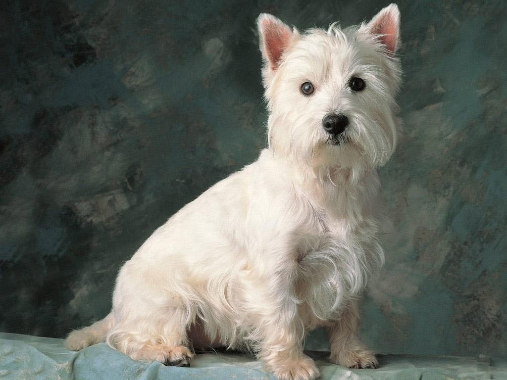 Cairn Terrier Poochpedia Fandom Powered By Wikia