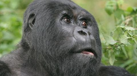 Team Silverback Gorilla Origins