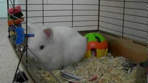 Meet Snowflake (Blue Eyes White Bunny)