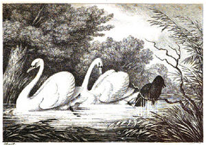 2. Raven and Swans