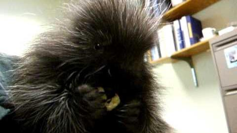 Baby Porcupine Eats A Banana and Has Hiccups!
